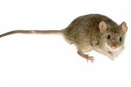 Kućni miš